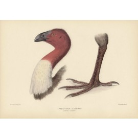 Mathews Birds Brush Turkey Lithograph Frowhawk