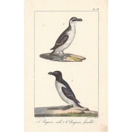Buffon Penguins French antique Lithograph Motte Oudart