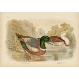 Chestnut coloured Shieldrake Broinowski Birds Australia Chromolithograph