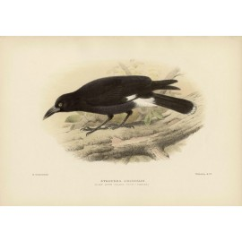 Mathews Birds Lord Howe Island Crow Shrike Lithograph