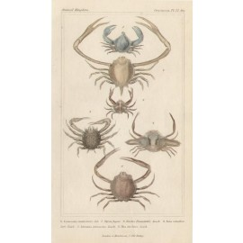 Crustaceans engraving French crabs Latreille print