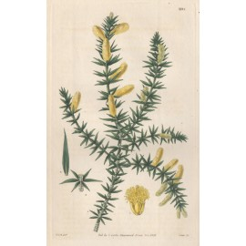acacia ruscifolia curtis botanical magazine print antique engraving