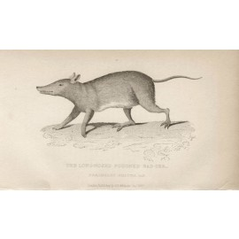 Long nosed Bandicoot engraving Griffith