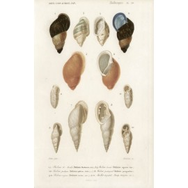 Molluscs engraving French shells print