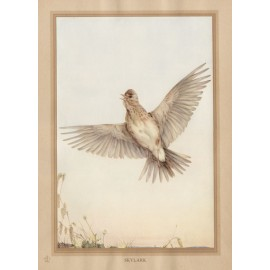 Skylark Edward Detmold Nature pictures