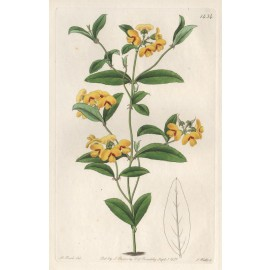 mirbelia baxter loddiges botanical register print antique engraving