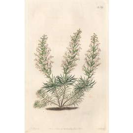 stylidium fasciculatum loddiges print antique engraving
