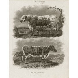 LongHorned Lancashire Breed engraving Sydenham Edwards cattle