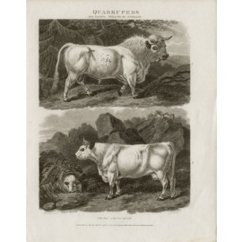 Bull Cow Calf engraving Sydenham Edwards cattle