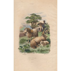 Sheep French antique engraving Adolph Fries