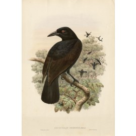 Lycocorax Obiensis Paradise Crow Lithograph William Hart Gould