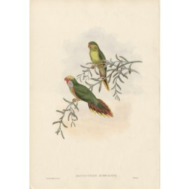 Greenbacked Lorrikeet Lithograph John Gould William Hart