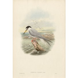 Sternula Placens Torres Straits Tern Lithograph John Gould