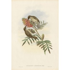 Kebir Scaly Throated Honeyeater Lithograph William Hart Gould