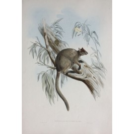 Gould Grizzled Tree Kangaroo Lithograph mammals australia