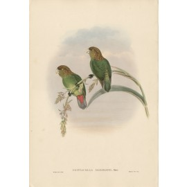 Madarasz's Parrakeet Lithograph William Hart Gould bird