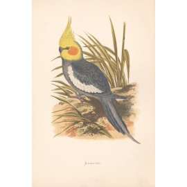 Cockatiel Colour woodblock Greene Parrots Captivity