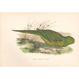 Green Ground Parrot New Zealand Greene Parrots Captivity