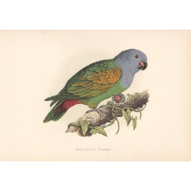Red Vented Parrot Greene Parrots Captivity