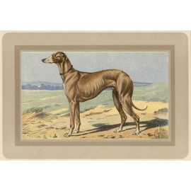 Greyhound Chromolithograph print gun dog breed