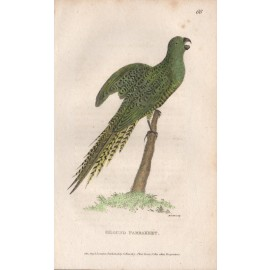 Ground Parrot engraving Griffith 1811