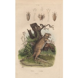 Potoroo engraving Adolph Fries 1839