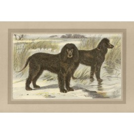 Irish Water Spaniel Chromolithograph print gun dog breed