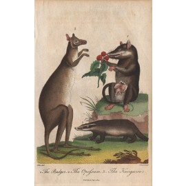 Badger Opossum Kangaroo engraving Pass 1804