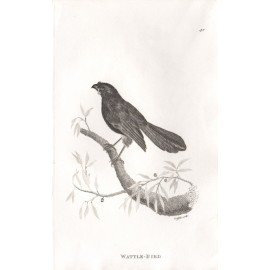 Wattle Bird engraving Griffith