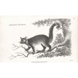 Lemurine Opossum engraving Heath 1800