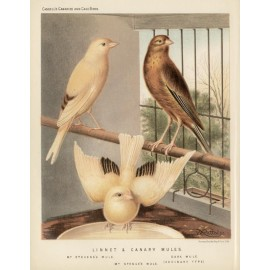 Linnet Canary Mules Chromolithograph William Rutledge