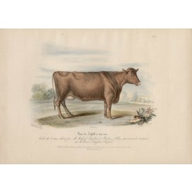 Low Domestic Breeds Suffolk Cattle Lithograph Nicholson Shiels