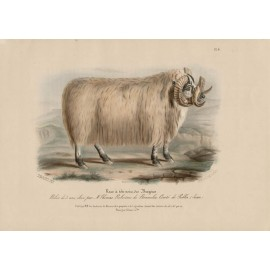 Low Domestic Breeds BlackFaced Heath Sheep Ram Lithograph