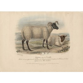 Low Domestic Breeds Old Norfolk Sheep Lithograph Nicholson Shiels