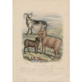 Low Domestic Breeds Shetland Orkney Island Sheep Lithograph