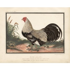 Poultry Malay Game Cock Chromolithograph  JW Ludlow