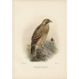 Mathews Birds Australia Northern Buzzard Lithograph