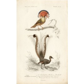 Lyre Bird engraving Edouard Travies 1849