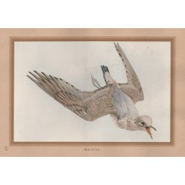 Sea Gull Edward Detmold Nature pictures