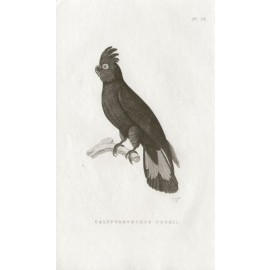 Calyptorynchus Cookii Australian cockatoo engraving Griffith