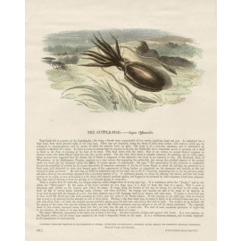 Cuttlefish antique Engish engraving Whimper