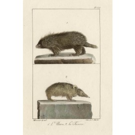 Porcupine Tanrec Lithograph French antique print