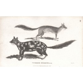 Viverrine Opossum engraving Heath 1800