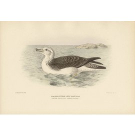 Mathews Birds Whitefronted Shearwater Lithograph Gronvold