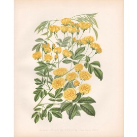 banksias lute yellow rose print
