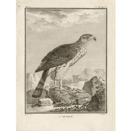 L'Autour French antique bird engraving Seve