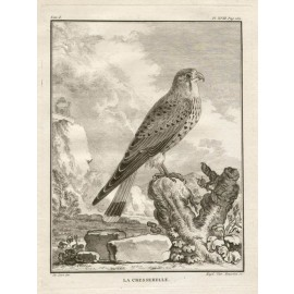 La Cresserelle Kestrel French antique bird engraving Seve