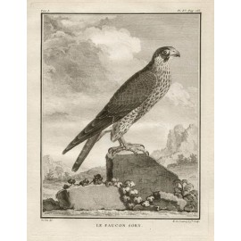Le Faucon Sort French antique bird engraving Seve