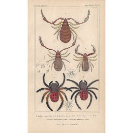 chelifer spider print engraving