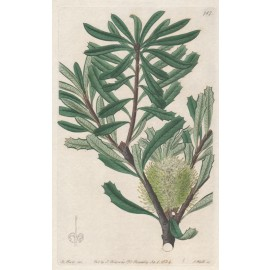 tree banksia loddiges botanical register print antique engraving